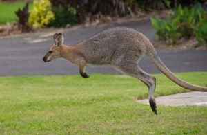 wallaby, rednecked wallaby, brown
